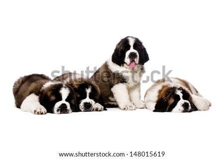 Four St Bernard puppies together isolated on a white background