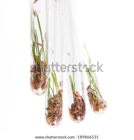 Four test tubes with grass seed and freshly sprouted grass shoots. - stock photo