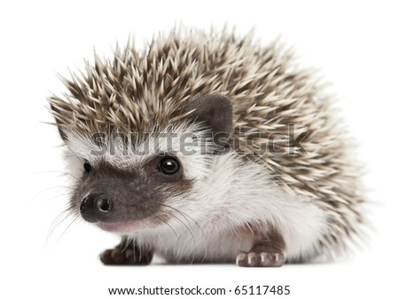 Four-toed Hedgehog, Atelerix albiventris, 3 weeks old, in front of white background - stock photo