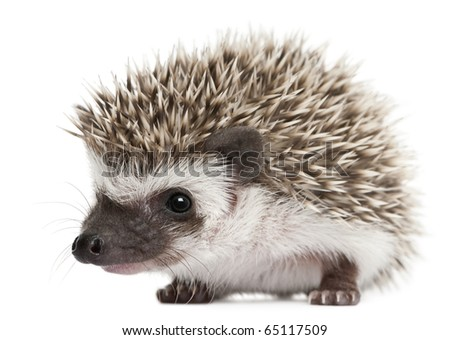 Four-toed Hedgehog, Atelerix albiventris, 3 weeks old, in front of white background