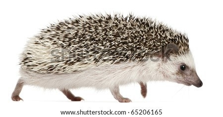 Four-toed Hedgehog, Atelerix albiventris, 2 years old, walking in front of white background - stock photo