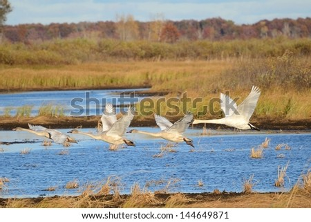 Four Trumpeter Swans (Cygnus buccinator) Taking Flight - stock photo