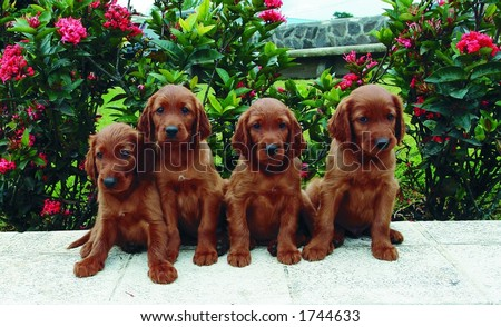Four two months old pure breed red irish setter puppies posing in a row - stock photo