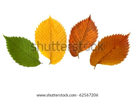 Four vibrant autumn leaves of elm tree - stock photo