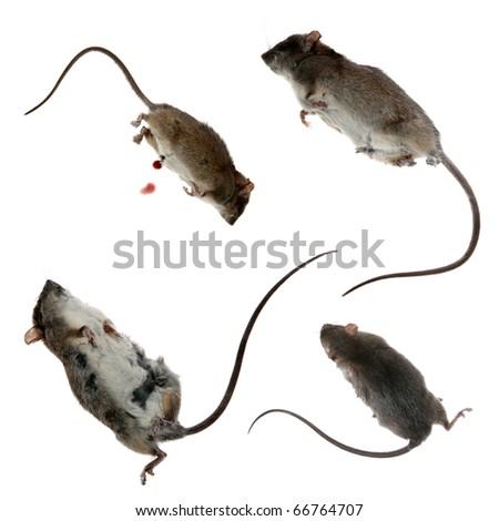 four views of a Dead Rat, isolated on white. - stock photo