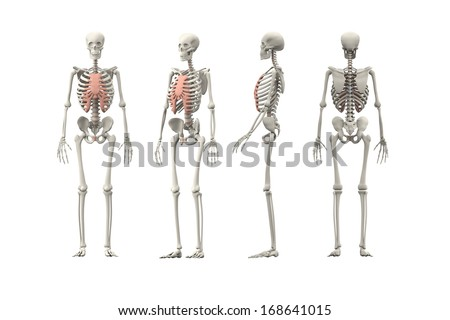 Four views of human skeleton isolated on white.