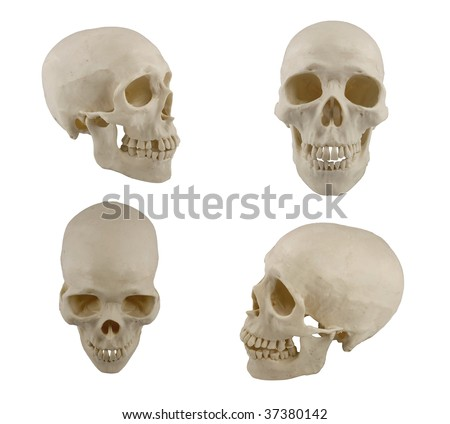Four views of human skull model isolated on white - stock photo