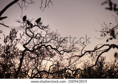 Four vultures perched in a tree, South Africa