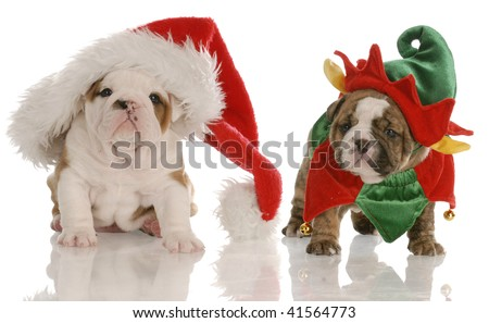four week old english bulldog puppies dressed up as santa and an elf - stock photo