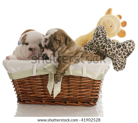 four week old english bulldog puppies in a wicker basket with stuffed toys