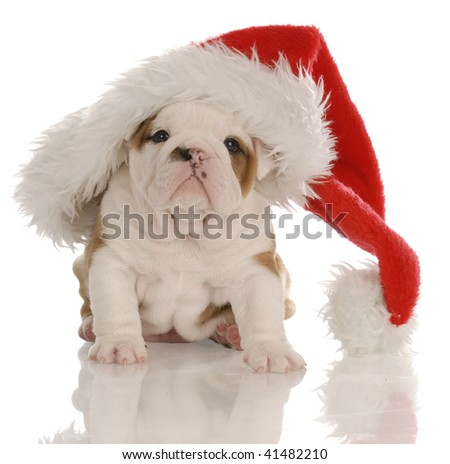 four week old english bulldog puppy dressed up as santa - stock photo