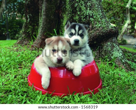 Four weeks old pure breed Siberian husky  puppies in a food bowl - stock photo