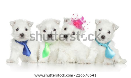 Four West Highland White Terrier puppies on white background - stock photo