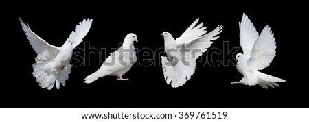 Four white doves  isolated on a black background - stock photo