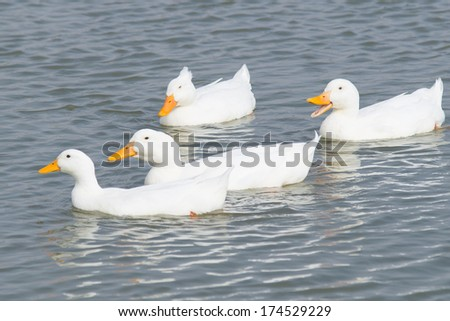four white ducks swimming to the left in a pond - stock photo