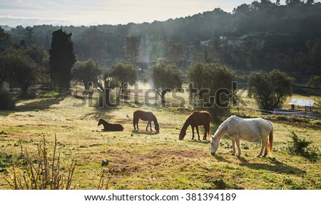 Four wild horses grazing in a field, eating grass, the morning frost on the grass, horse looking at the camera, white and brown horses, steam from the nostrils, backlight, sun glare, trees - stock photo