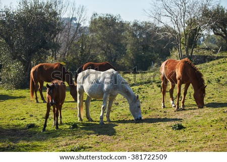 Four wild horses grazing in a field, eating grass, the morning frost on the grass, horse looking at the camera, white and brown horses, steam from the nostrils, backlight, sun glare