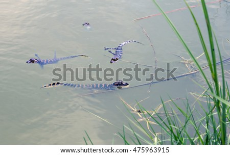Four young American alligator swimming, showing the distinctive striping found on juveniles. Brazoria National Wildlife Refuge. Texas, USA