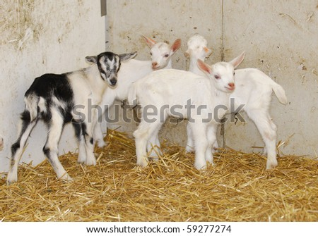 four young goat kids on the farm