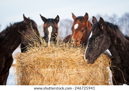 Four young horses eating hay outdoors - stock photo