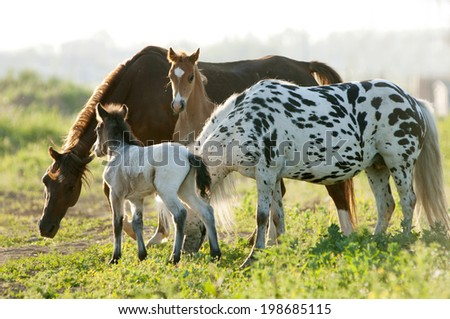 Four young horses looking forward and standing in the field. - stock photo