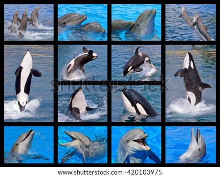 Fourteen mosaic photos of bottlenose dolphins (Tursiops truncatus) and killer whales (Orcinus orca) - stock photo