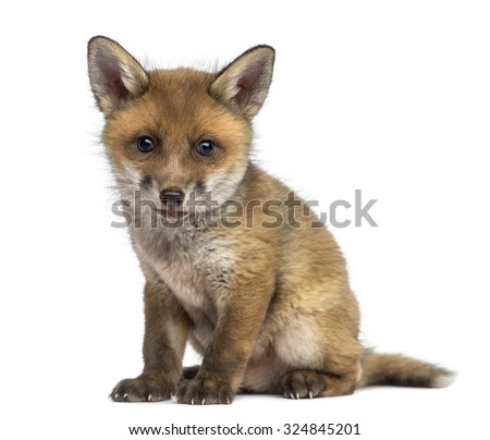 Fox cub (7 weeks old) sitting in front of a white background - stock photo