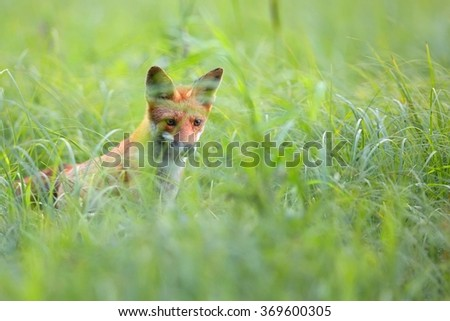 Fox hidden in the grass in the wild