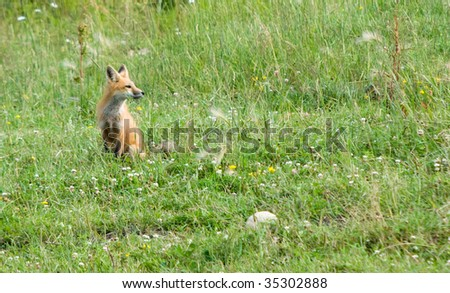 fox in  field of wild flowers and grasses looking into camera - stock photo