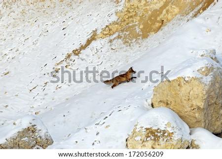 Fox in its natural habitat in winter - stock photo