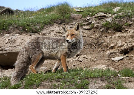 Fox in the Gran Paradiso park in the Alps