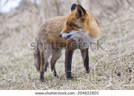 Fox portrait, Amsterdamse Waterleiding Duinen, The Netherlands