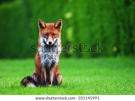 Fox sitting in an urban back garden - stock photo