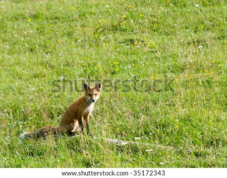 fox sitting in field of wild flowers and grasses - stock photo