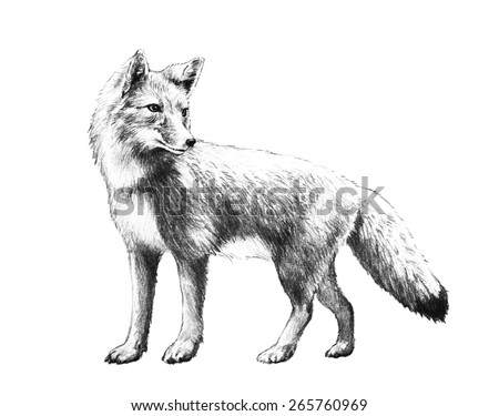 Fox sketch. Hand drawn fox illustration in pencil. Red fox standing isolated on white background.