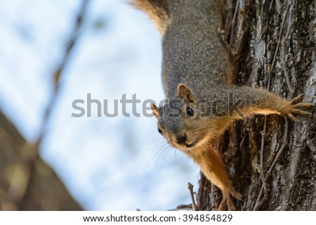 Fox Squirrel hanging upside-down, looking straight forward. Curious, Inquisitive, funny, comical. Easily captioned with space for Text on Left - stock photo