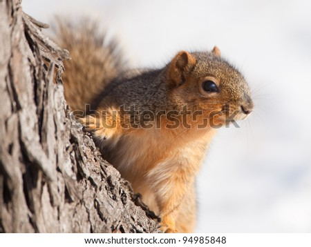 Fox squirrel sitting on a tree - stock photo