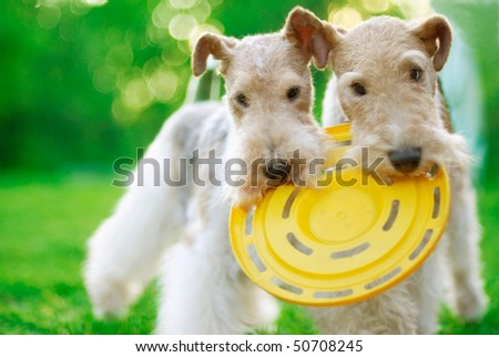 Fox terrier close up against a green grass - stock photo