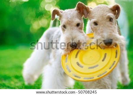 Fox terrier close up against a green grass - stock photo