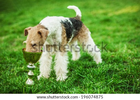 Fox-Terrier eating from metal Cup on green lawn. - stock photo