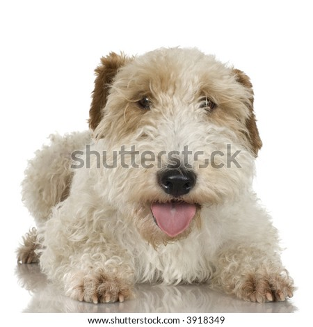 Fox Terrier in front of a white background
