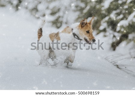 fox-terrier pup playing in snow
