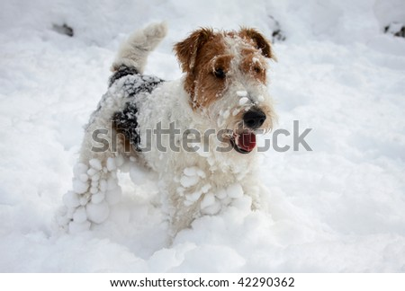 fox-terrier pup playing in snow and frosting-up - stock photo
