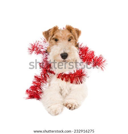 Fox Terrier wearing Christmas garlands, isolated on white