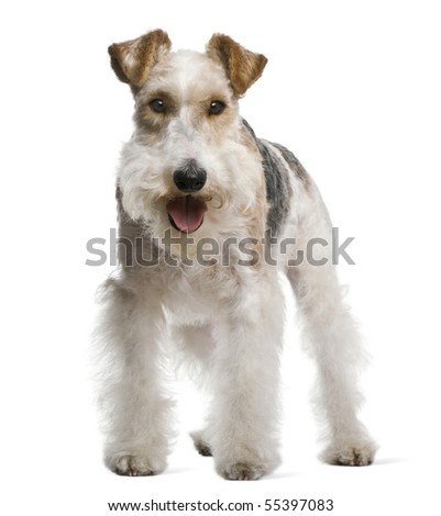Fox terrier, 4 yeas old, in front of white background - stock photo