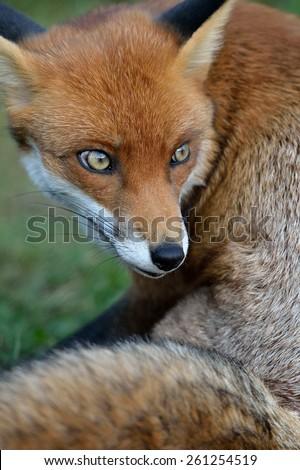 fox (vixen), soft focus - stock photo