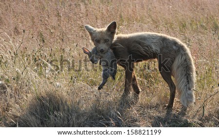 fox with rabbit in mouth - stock photo