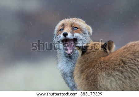 Foxes in the rain having an argument.