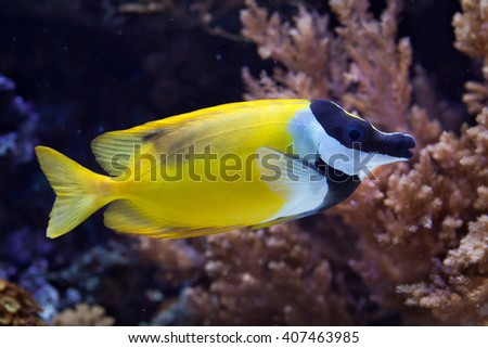 Foxface rabbitfish (Siganus vulpinus). Wild life animal.