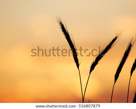 foxtail grass against dusk sunlight sky